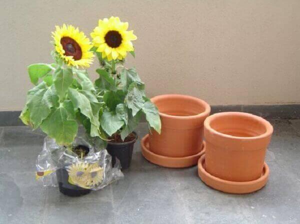 Girassol e vasos