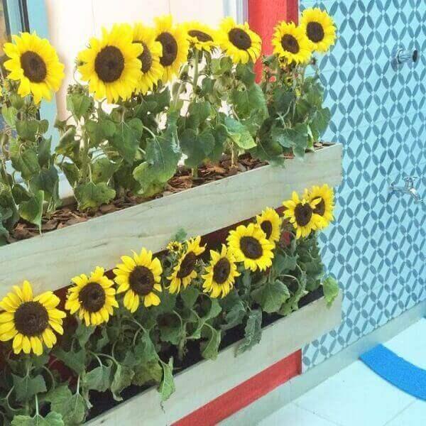 Girassol jardineiras