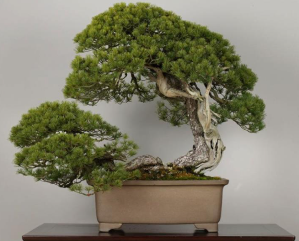 "O ""Higurashi"" de 400 anos de idade, é o bonsai mais caro do mundo. Crédito: Miriam Sato"