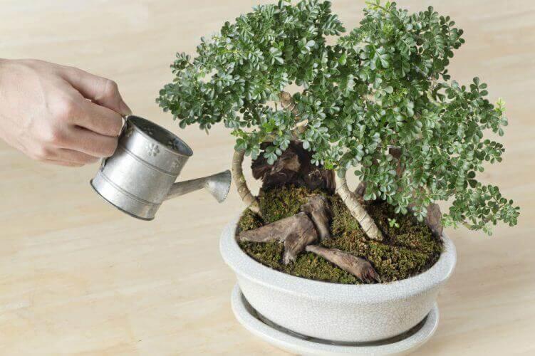Saiba como cuidar do bonsai Foto de Bonsai Oasis