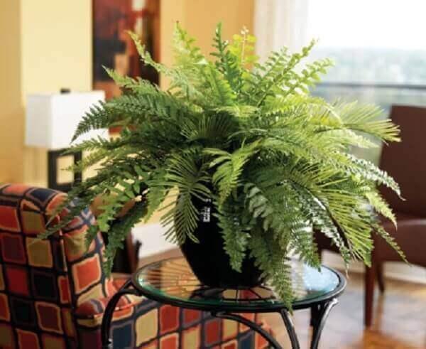 Samambaia com vaso preto na sala