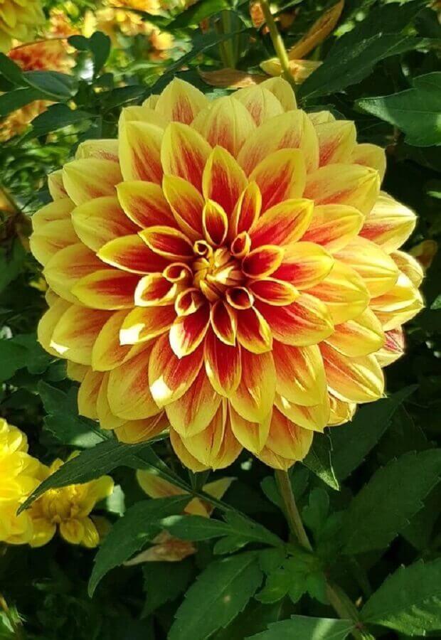 Tipos de flores dália Foto Pixabay