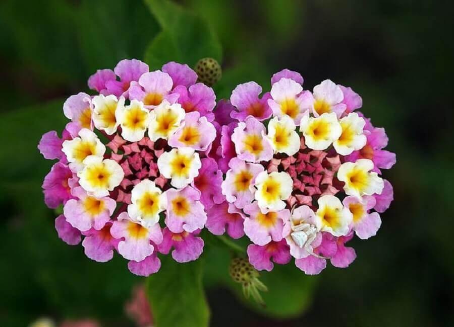 Tipos de flores lantana Foto Sitio da Mata