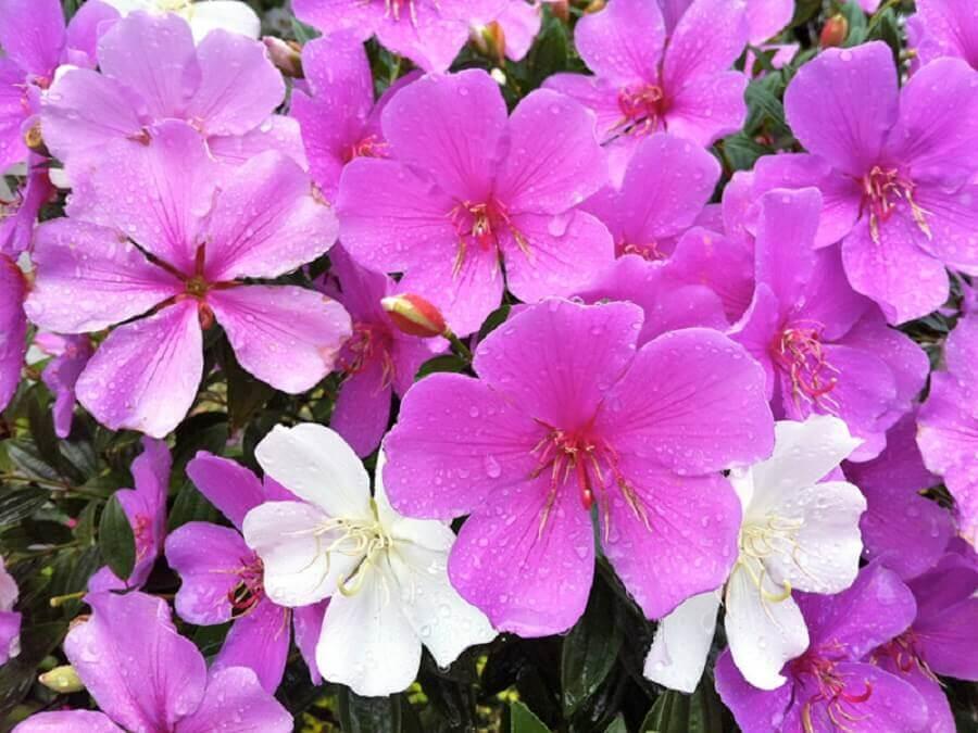 Tipos de flores manaca da Serra Foto Minhas Flores