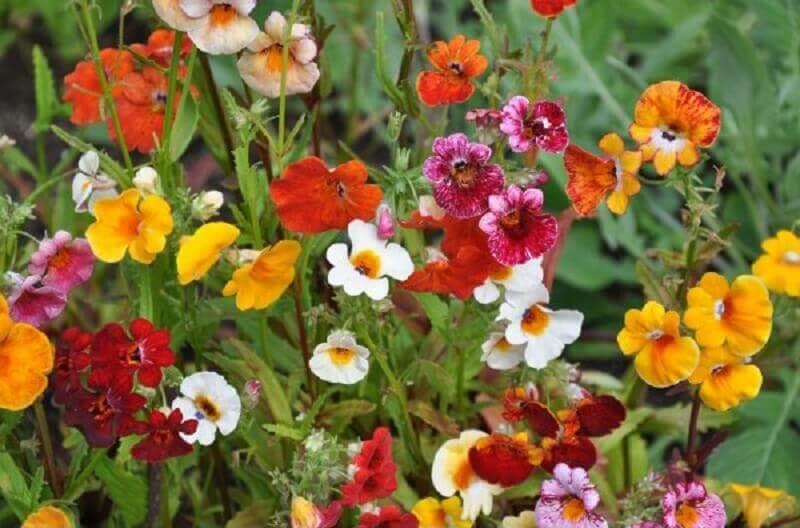 Tipos de flores nemésia Foto SoFlor