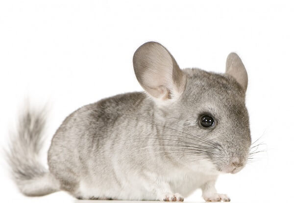 Animais para apartamento Chinchila