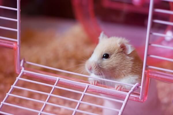 Animais para apartamento Hamster