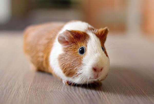 Animais para apartamento Porquinho-da-índia