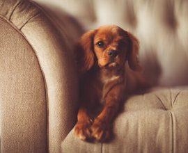 Animais para apartamento cachorro no sofá