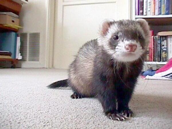 Animais para apartamento furão