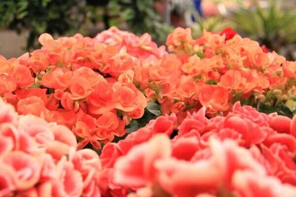 Begônia rosas