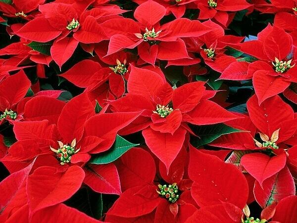 Flor de natal é muito utilizado na decoração