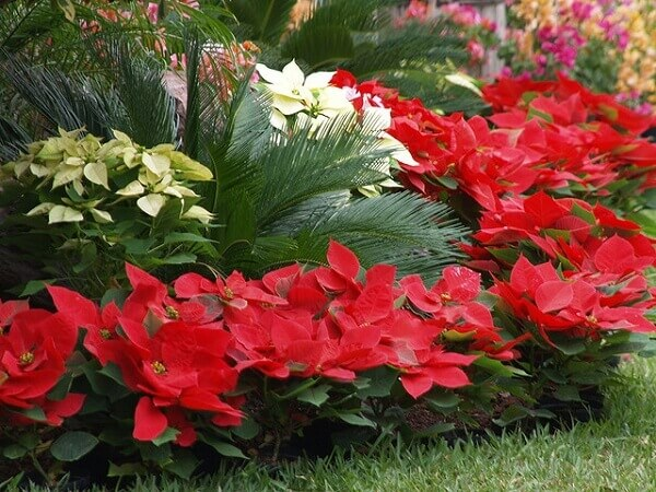 Flor de natal em jardim