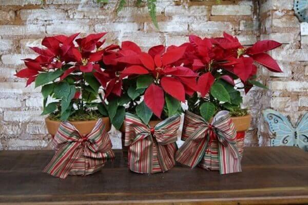 Flor de natal em três vasinhos