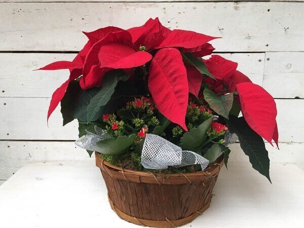 Flor de natal em vaso