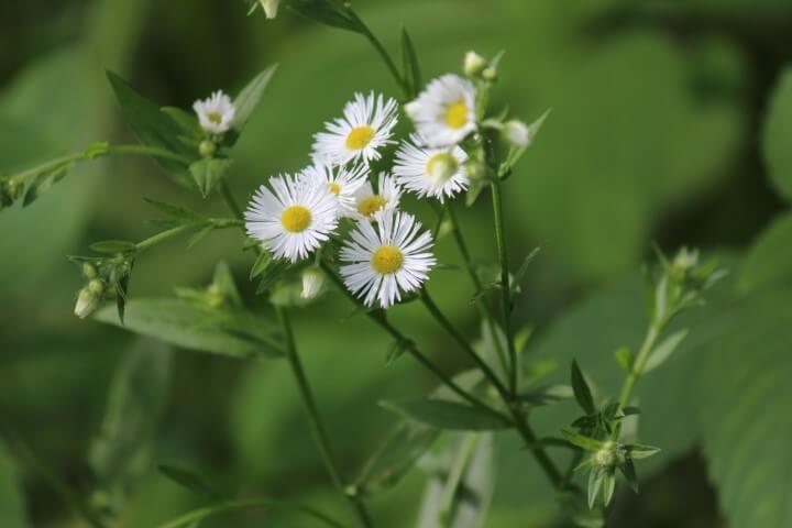 Flor do campo branca com botões amarelos Foto de Seasons Flow