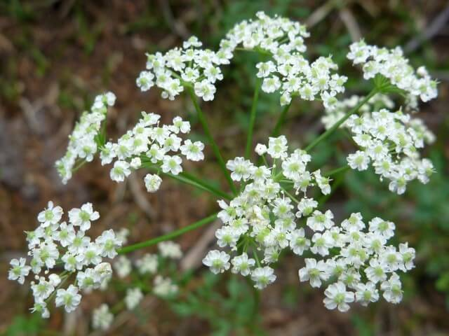 Flor do campo branca na natureza Foto de American Southwest