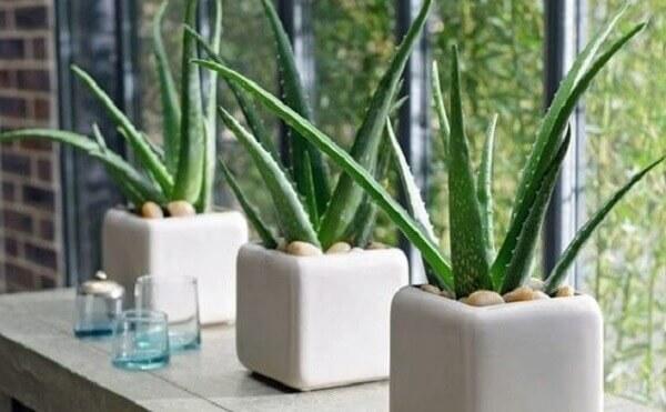 Plantas para dentro de casa Babosa