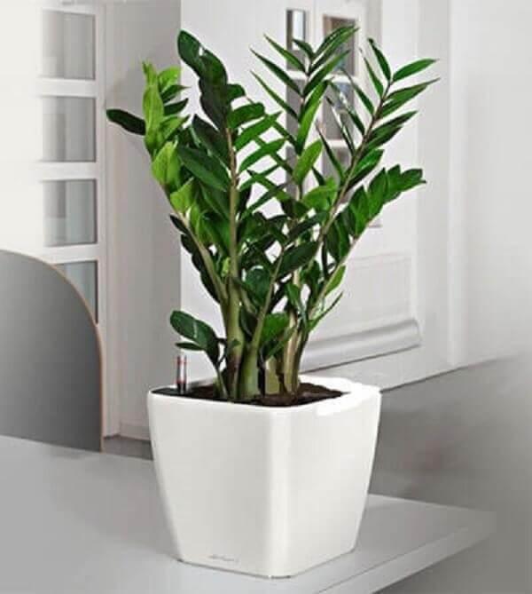 Planta para dentro de casa Zamioculca