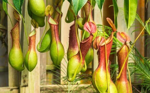 Plantas carnívoras Nepenthes suspensas Foto de Mercado Livre