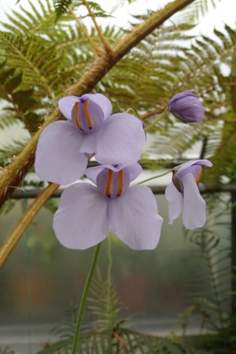 Plantas carnívoras Utricularia em tom de lilás Foto de Oxford University Herbaria
