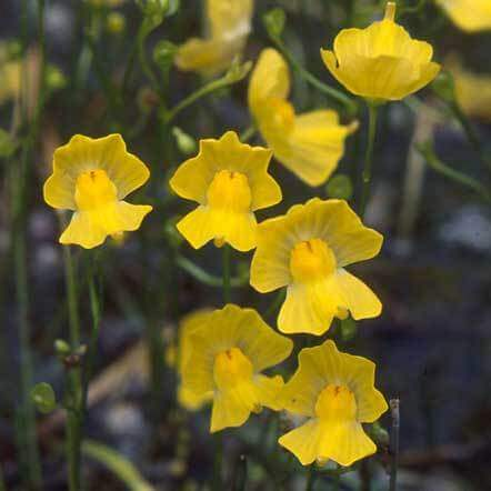 Plantas carnívoras da espécie Urticalaria amarelas Foto de Carnivorous Plant Nursery