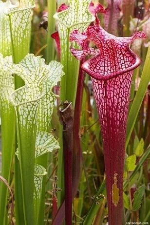 Plantas carnívoras tipo Sarracenia longas Foto de Pinterest