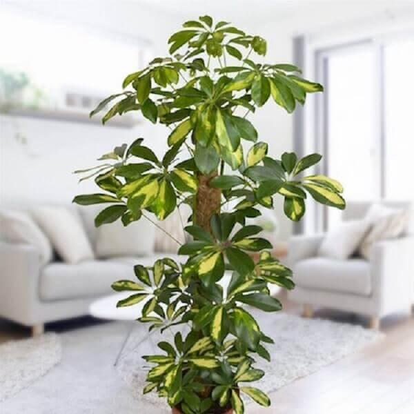 Plantas para dentro de casa Cheflera