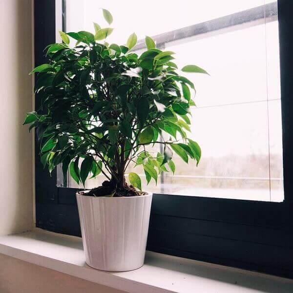 Plantas para dentro de casa Ficus Benjamin (Ficus Benjamina)