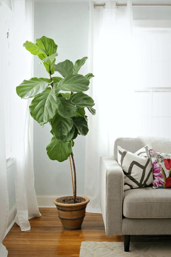 Plantas para dentro de casa Ficus Lyrata