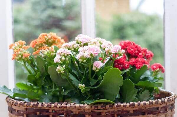 Plantas para dentro de casa Flor-da-Fortuna
