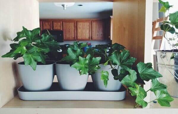 Plantas para dentro de casa Hera Inglesa