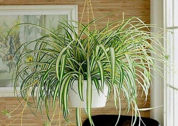 Plantas para dentro de casa clorofito