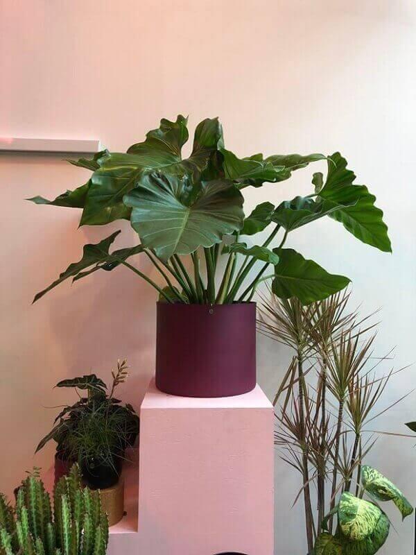 Plantas para dentro de casa filodendro ondulado