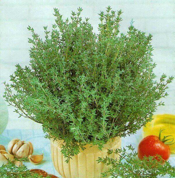 Plantas para dentro de casa tomilho