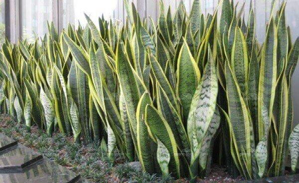 Plantas para jardim Espada de Santa Bárbara
