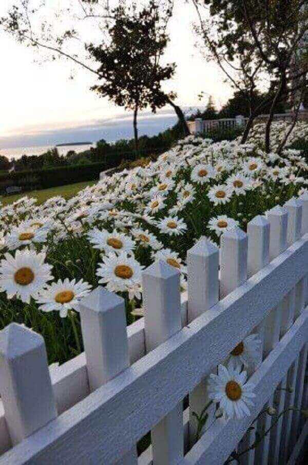 Plantas para jardim Margarida