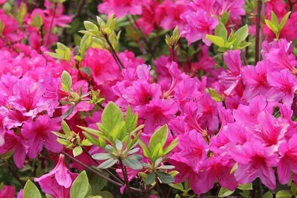 Plantas para jardim azaleias rosas