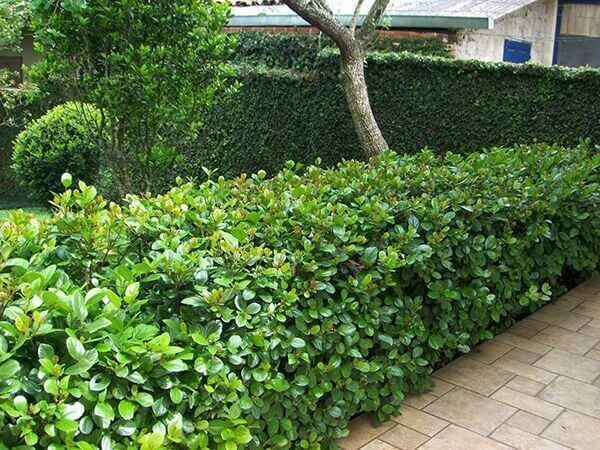 Plantas para jardim cerca viva em quintal