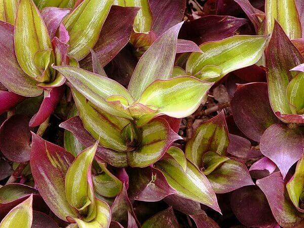Plantas para jardim lambari roxo