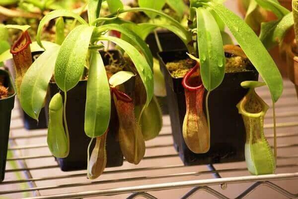 Tipos de plantas carnívoras atrai pequenos insetos