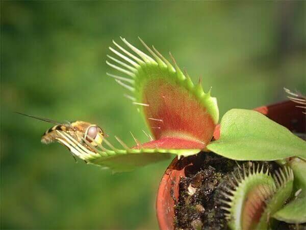 Tipos de plantas carnívoras atraem suas vitimas pelo cheiro