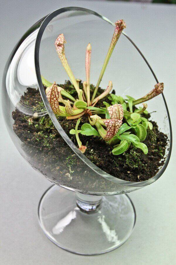 Tipos de plantas carnívoras em terrários