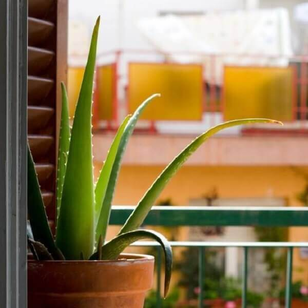 Tipos de plantas medicinais como a Aloe Vera é boa para o cabelo