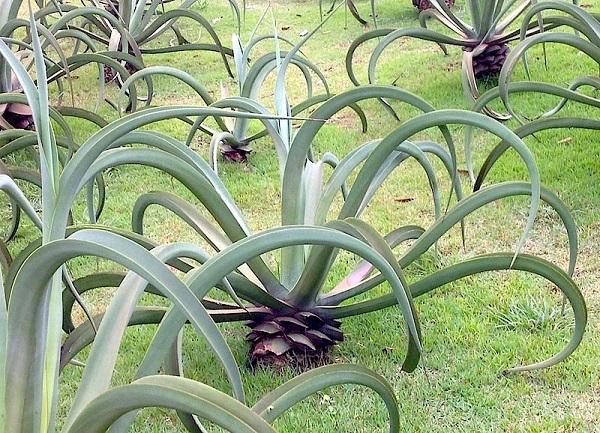 Tipos de plantas ornamentais como a agave Polvo são um gênero de suculentas