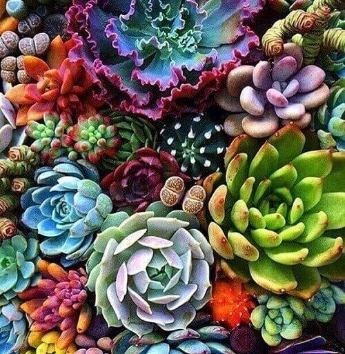 Tipos de plantas suculentas variadas