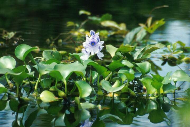 Aguapé plantas aquáticas com folhas e flor Foto de Aquapedia