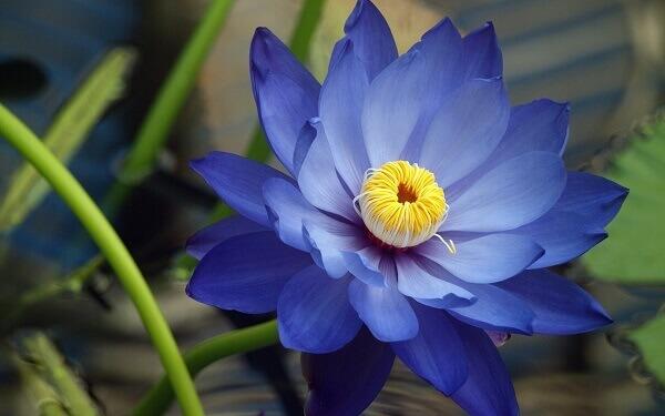 Flor-de-lótus azul plantas aquáticas conhecidas Foto de Mythologian
