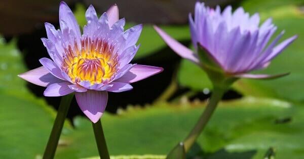 Flor-de-lótus roxa uma das plantas aquáticas mais conhecidas Foto de Herbie's Herbs