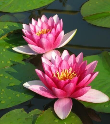 Ninfeia plantas aquáticas com flores coloridas Foto de Todo Dia é Dia de Jardinar